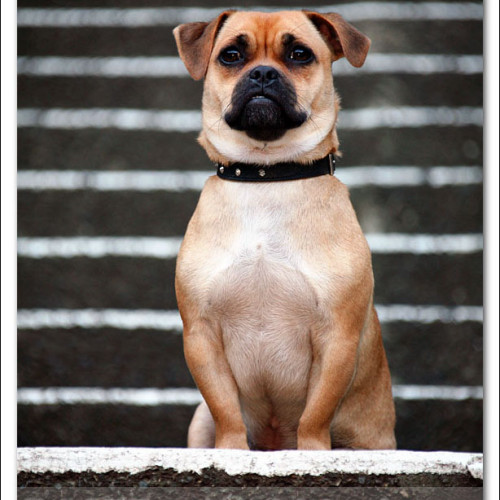 pug-neo-pet-photography-5103