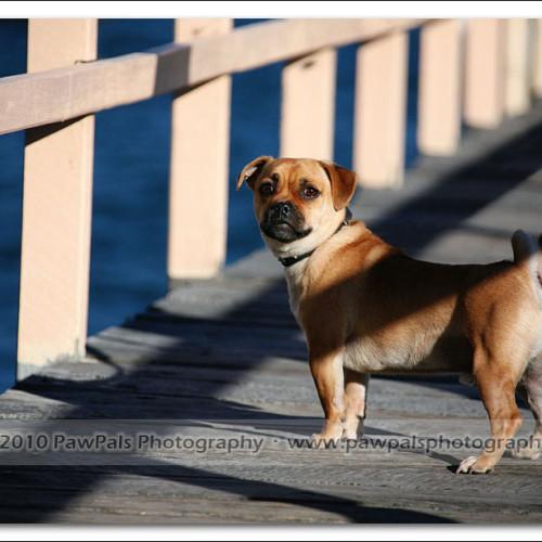 pug-neo-pet-photography-5106