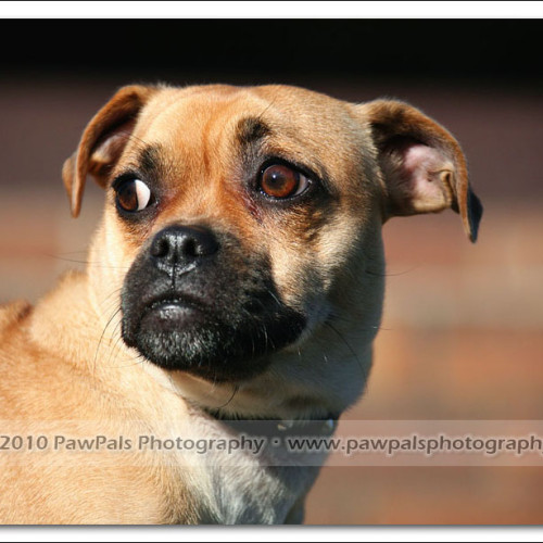 pug-neo-pet-photography-5123
