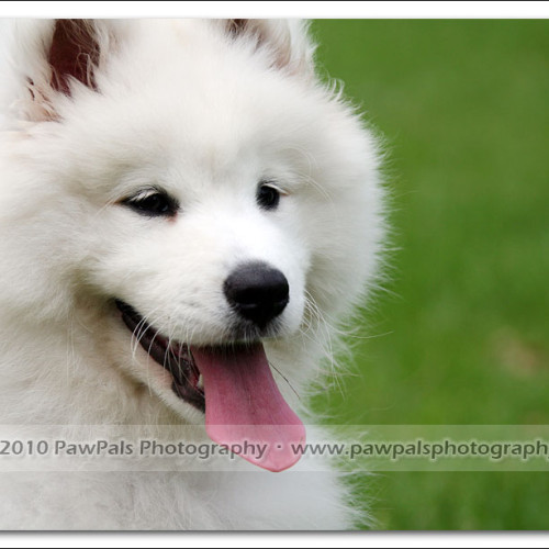 samoyed-bella-pet-photography-3291