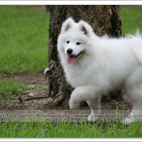 samoyed-bella-pet-photography-3309