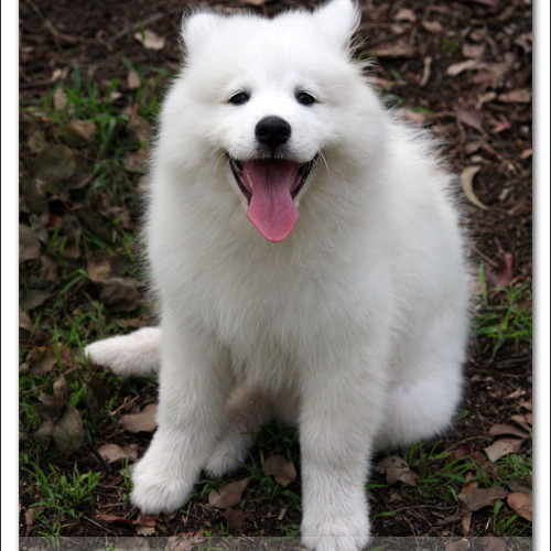 samoyed-bella-pet-photography-3364