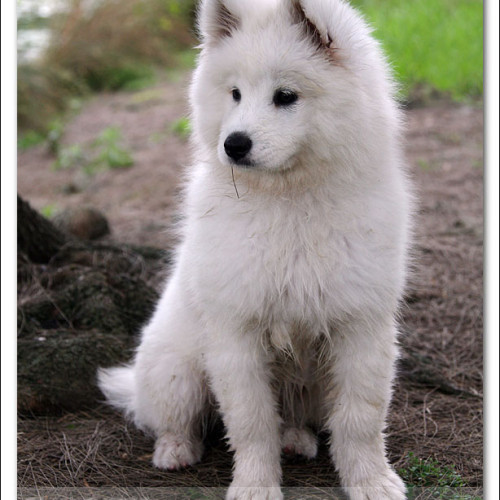 samoyed-bella-pet-photography-3472
