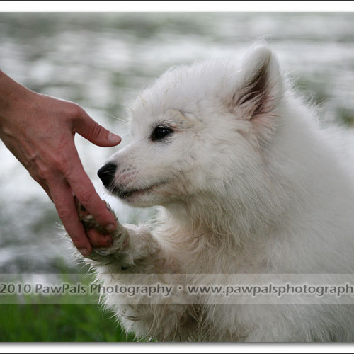 samoyed-bella-pet-photography-3483