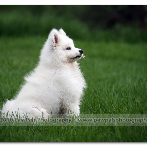 samoyed-bella-pet-photography-3490