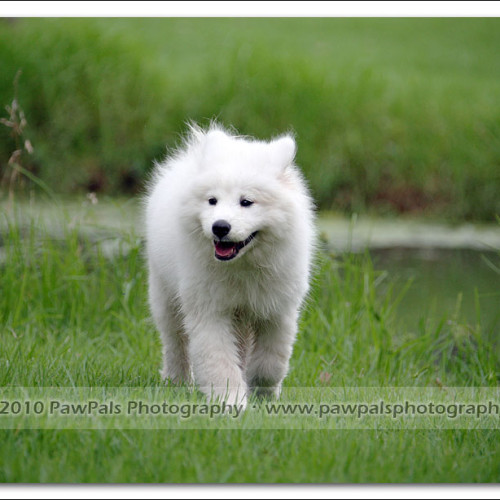 samoyed-bella-pet-photography-3512