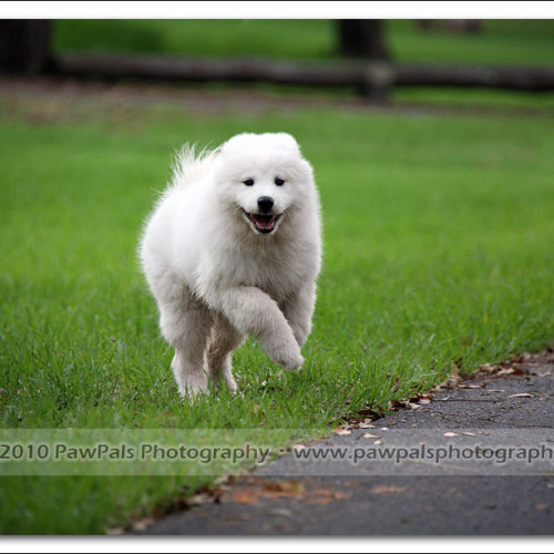samoyed-bella-pet-photography-3519