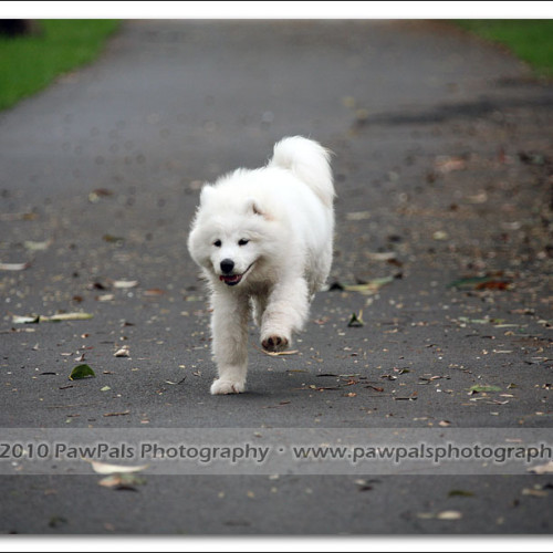 samoyed-bella-pet-photography-3522