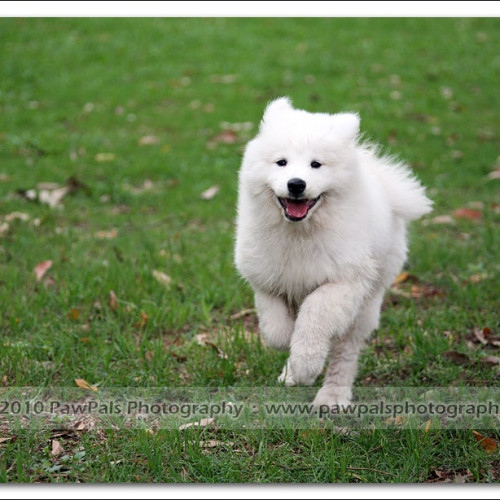 samoyed-bella-pet-photography-3527