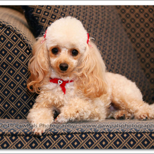toy-poodle-ruby-5902