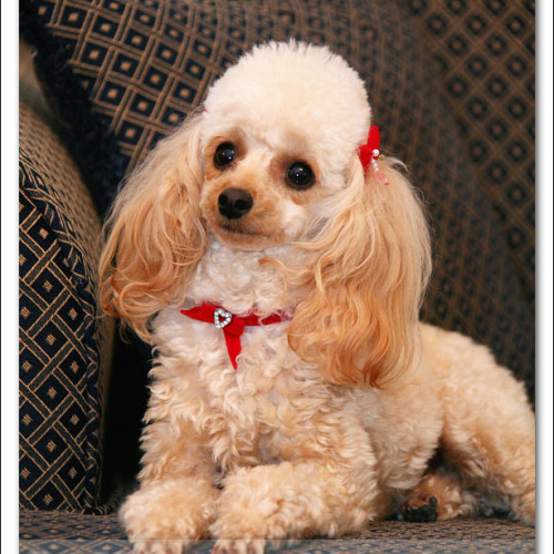 toy-poodle-ruby-5906
