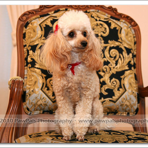 toy-poodle-ruby-5916