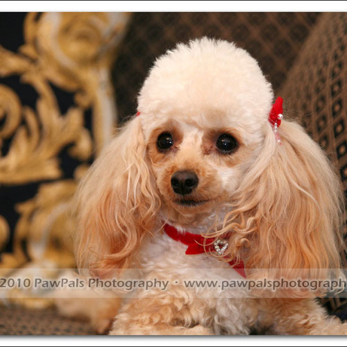 toy-poodle-ruby-5936