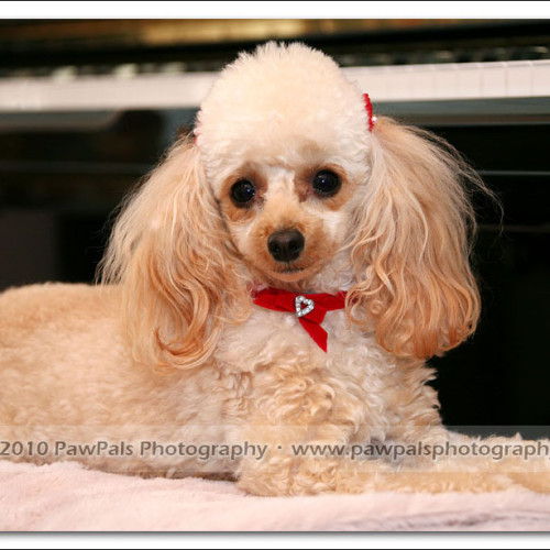 toy-poodle-ruby-5969