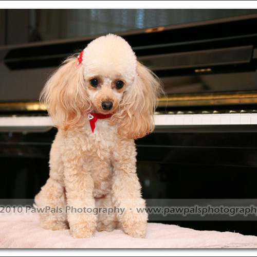 toy-poodle-ruby-5972