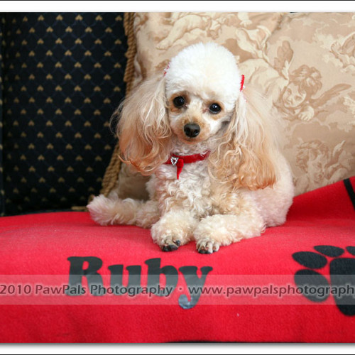 toy-poodle-ruby-5978