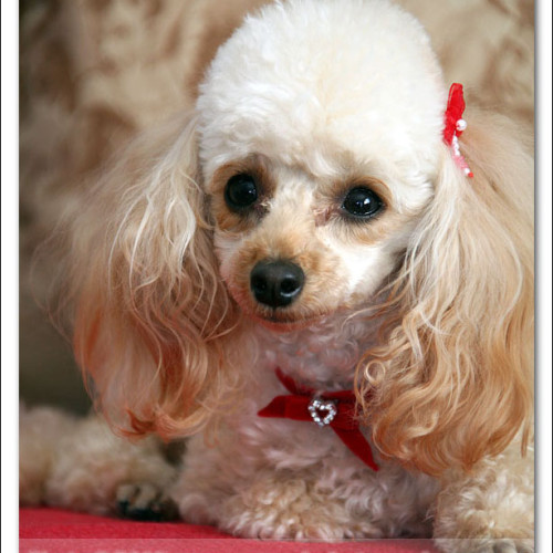 toy-poodle-ruby-5992
