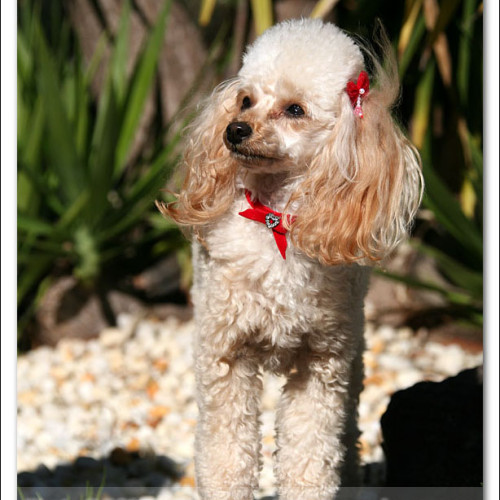 toy-poodle-ruby-6009