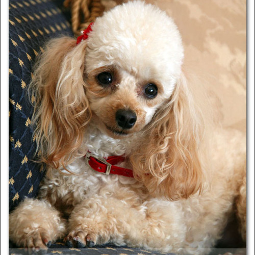 toy-poodle-ruby-6050