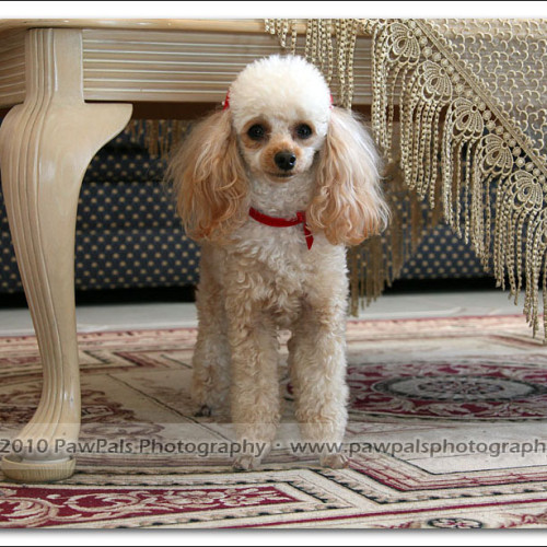 toy-poodle-ruby-6067