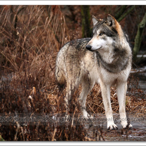 wolves-pawpals-photography-0034