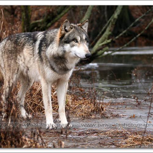 wolves-pawpals-photography-0036