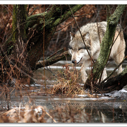wolves-pawpals-photography-0046