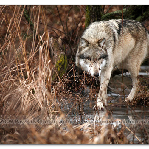 wolves-pawpals-photography-0048