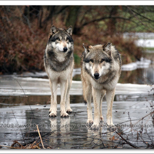 wolves-pawpals-photography-0090
