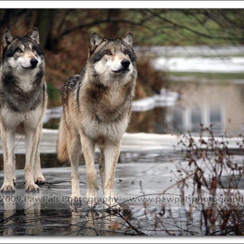 wolves-pawpals-photography-0092