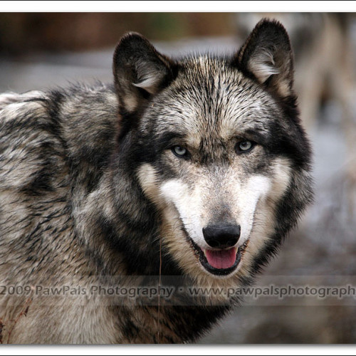 wolves-pawpals-photography-0097