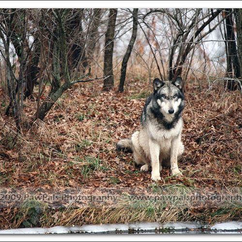 wolves-pawpals-photography-0103