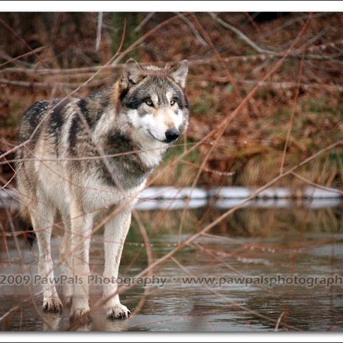 wolves-pawpals-photography-0106