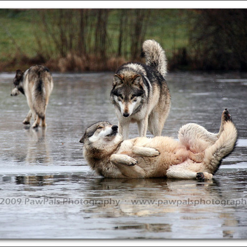 wolves-pawpals-photography-0255