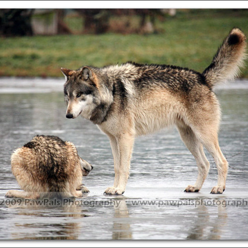 wolves-pawpals-photography-0260