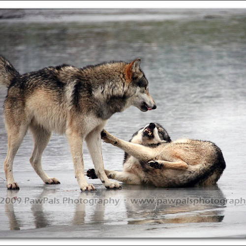 wolves-pawpals-photography-0321