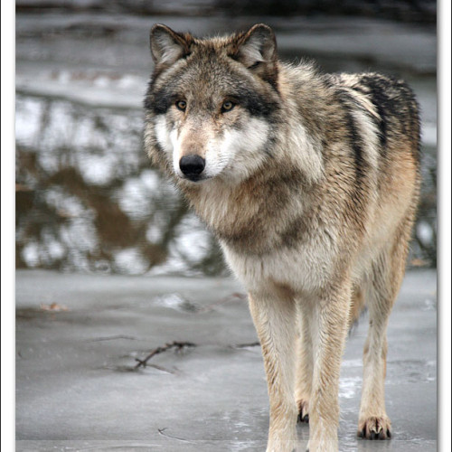 wolves-pawpals-photography-0426