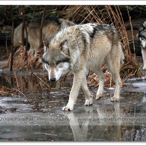 wolves-pawpals-photography-0450