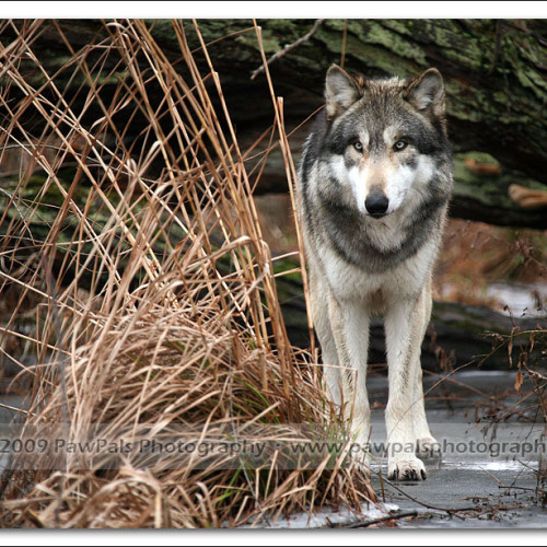 wolves-pawpals-photography-0477