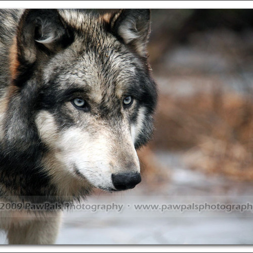 wolves-pawpals-photography-0511
