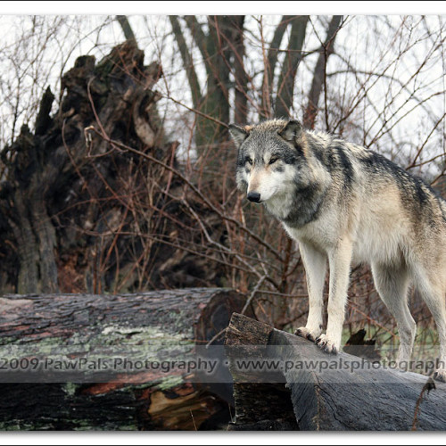 wolves-pawpals-photography-8860