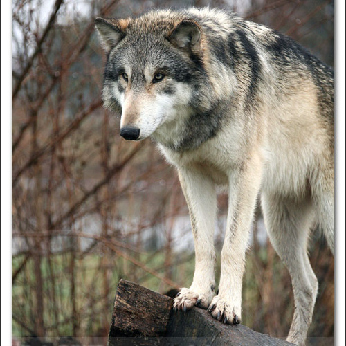 wolves-pawpals-photography-8872