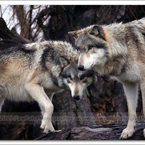wolves-pawpals-photography-8919