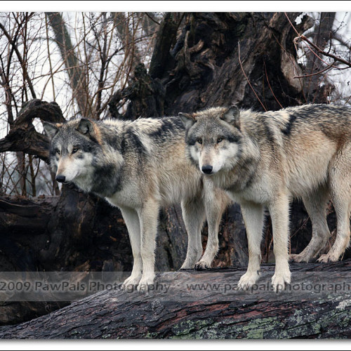 wolves-pawpals-photography-8924