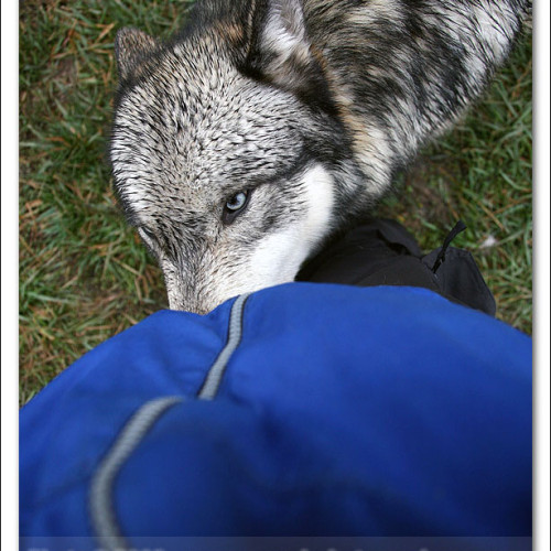 wolves-pawpals-photography-8950