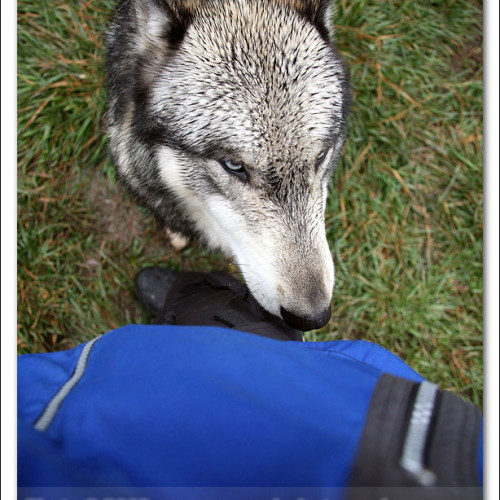 wolves-pawpals-photography-8951