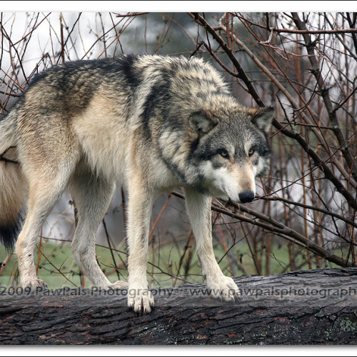 wolves-pawpals-photography-8955