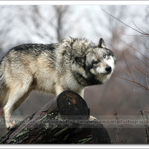 wolves-pawpals-photography-8963