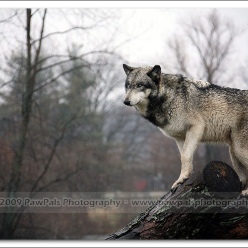 wolves-pawpals-photography-8973