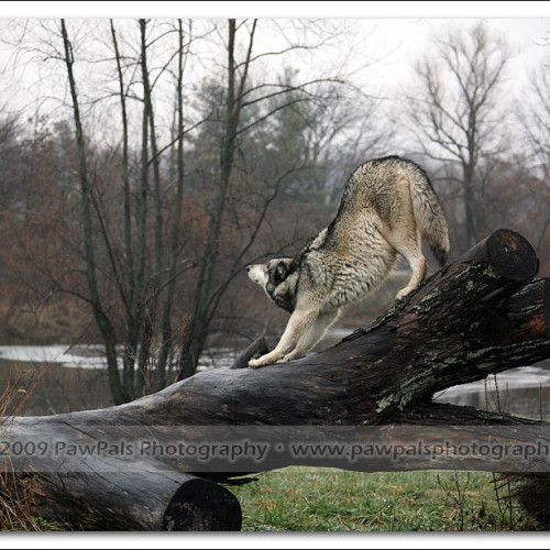 wolves-pawpals-photography-8982